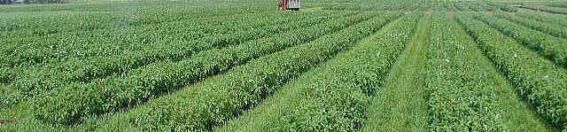 6ヘクタールの広いモロヘイヤ畑