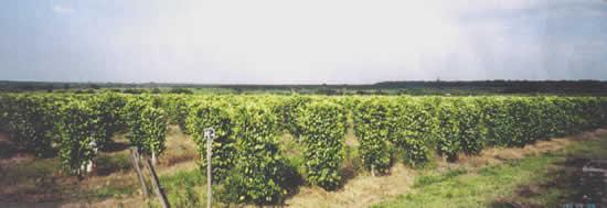 百合沢さんが経営するブラジルの胡椒園