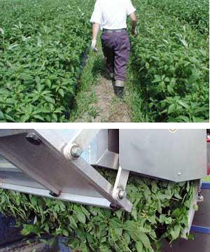大地の栄養分をたっぷり吸収して成長したモロヘイヤの収穫。